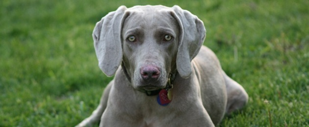 Rotating Weimaraner head banner images